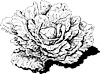 cabbage-306950_640